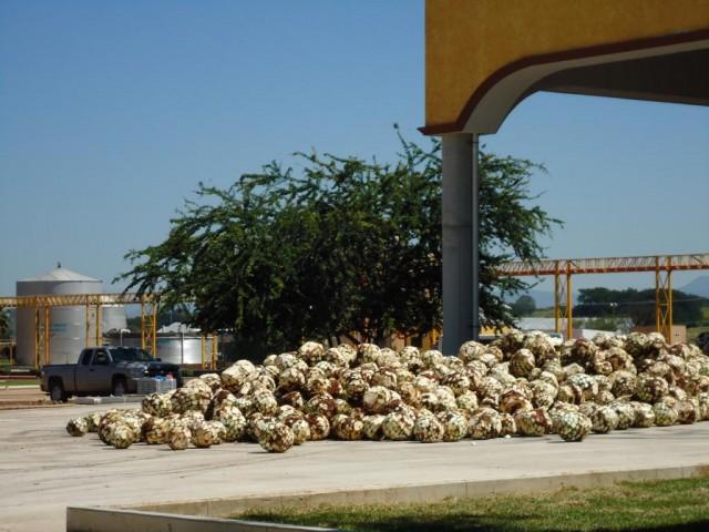 Das Herz der Agave sieht wie eine Ananas aus (Piña)